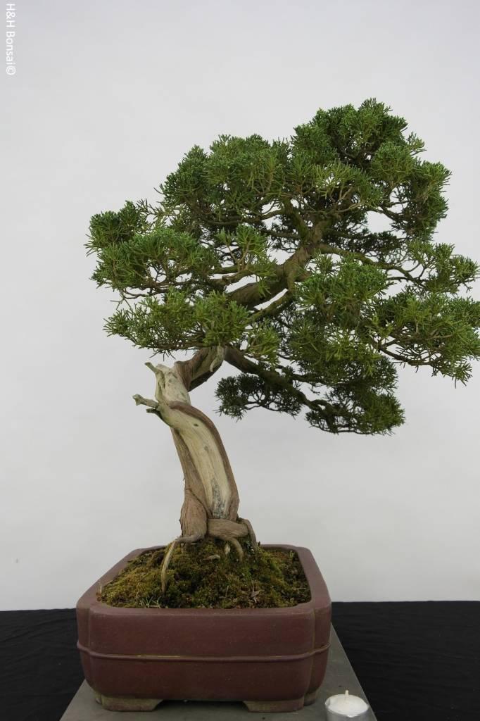 Bonsai Genévier de Chine, Juniperus chinensis itoigawa, no. 5176