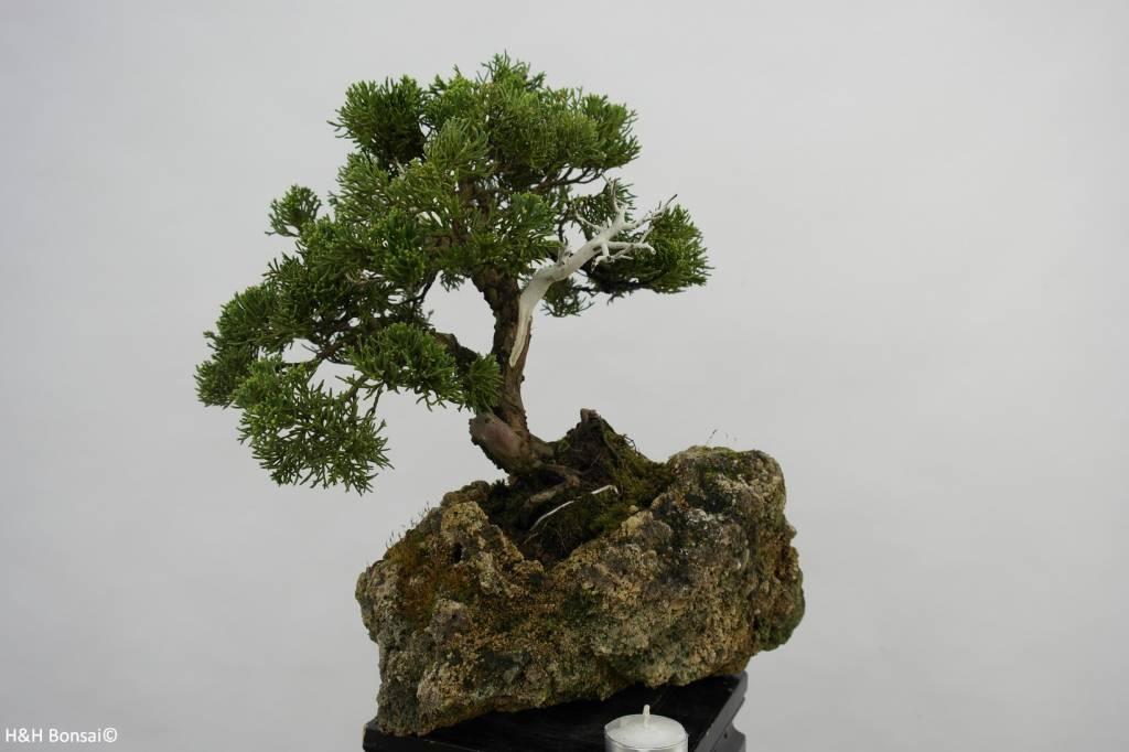 Bonsai Genévier de Chine, Juniperus chinensis, no. 5538