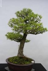 Bonsai Pin blanc du Japon, Pinus parviflora, no. 5303