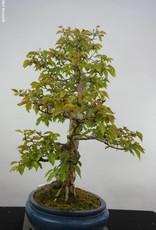 Bonsai Charme de corée, Carpinus coreana, no. 5889