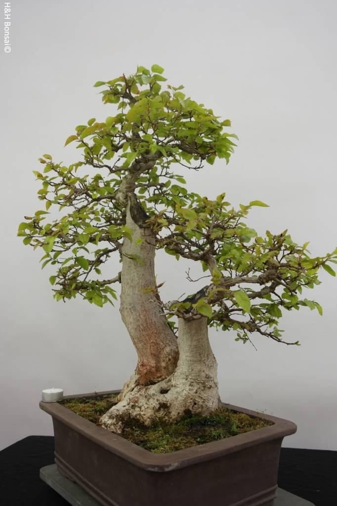 Bonsai Charme de corée, Carpinus coreana, no. 5886