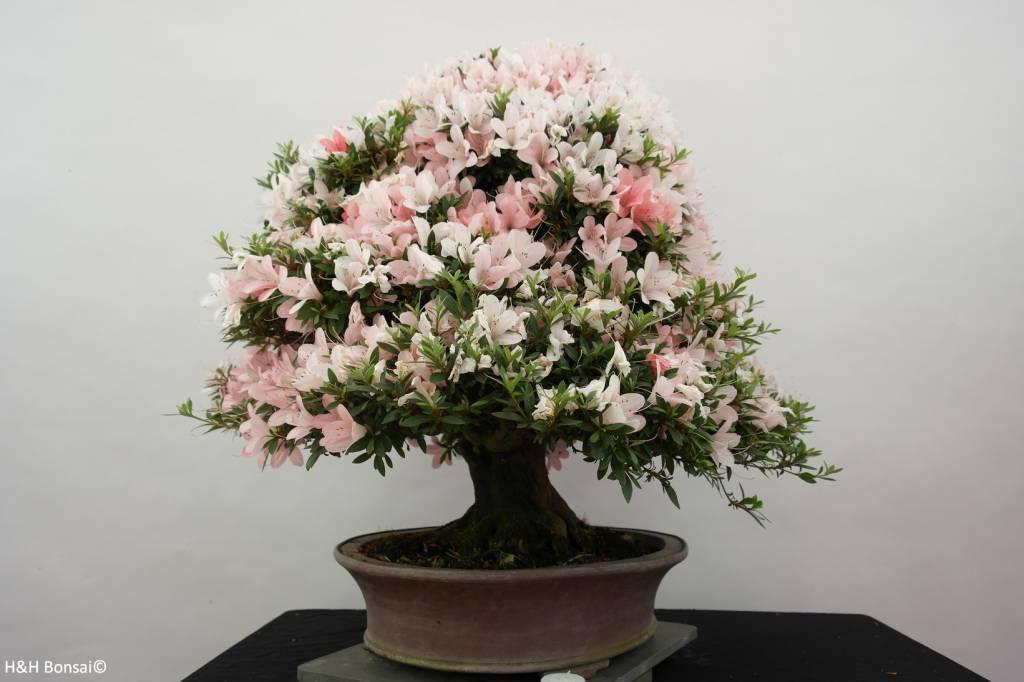Bonsai Azalée du Japon, Azalea Satsuki Nikko, no. 5296