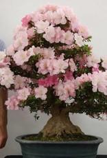 Bonsai Azalée du Japon, Azalea SatsukiGyoten, no. 5710
