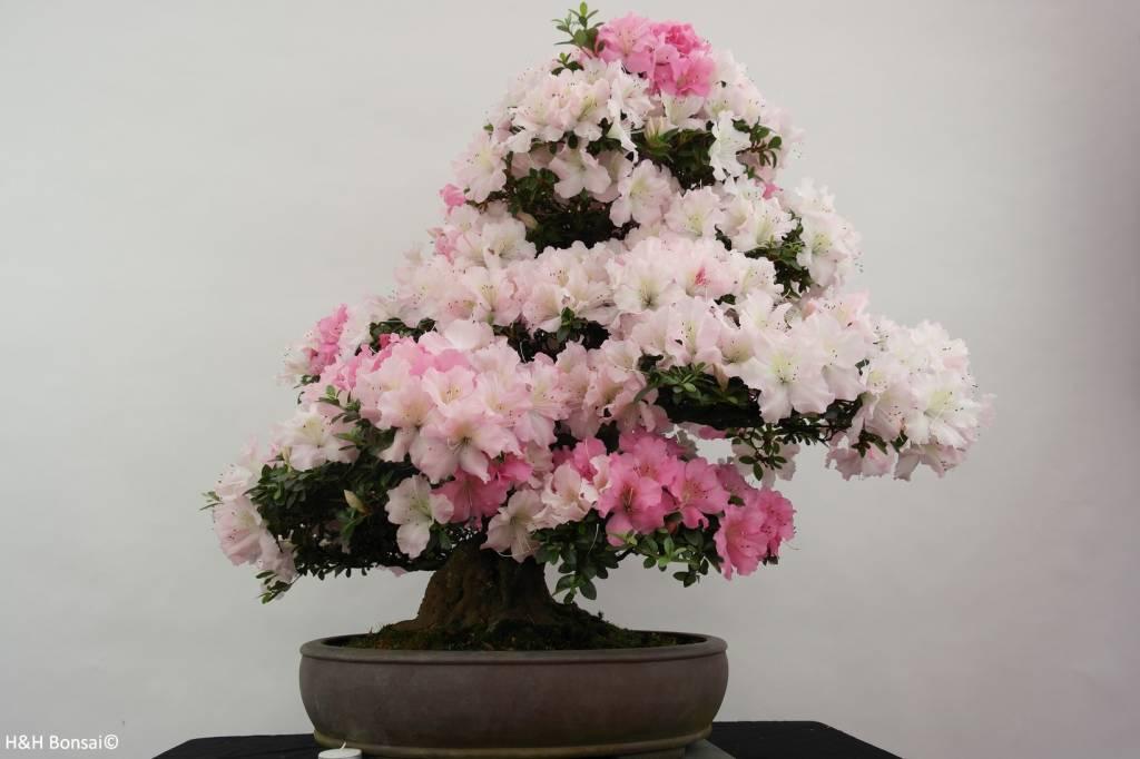 Bonsai Azalée du Japon, Azalea Satsuki Gyoten, no. 5293