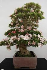 Bonsai Azalée du Japon, Azalea SatsukiNikko, no. 5708