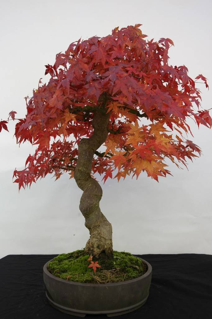 bonsai l 39 erable du japon acer palmatum no 5117. Black Bedroom Furniture Sets. Home Design Ideas