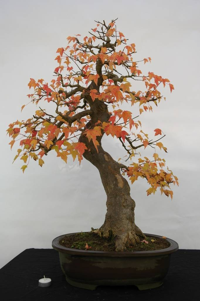 Bonsai L'Erable de Burger, Acer buergerianum, no. 5114