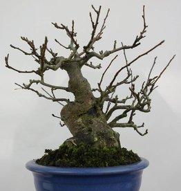 Bonsai Malus sieboldii Japanse appel, nr. 5105
