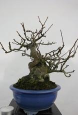 Bonsai Le Pommier, Malus sieboldii, no. 5105