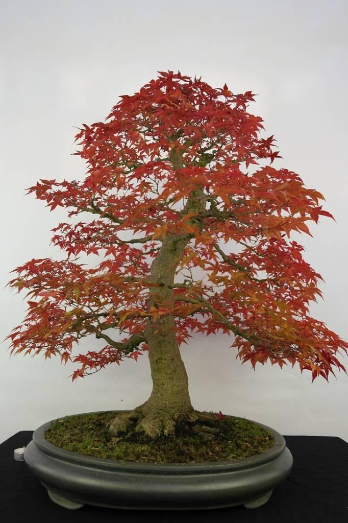 Bonsai Acer palmatum deshojo, Japanse esdoorn, nr. 5231