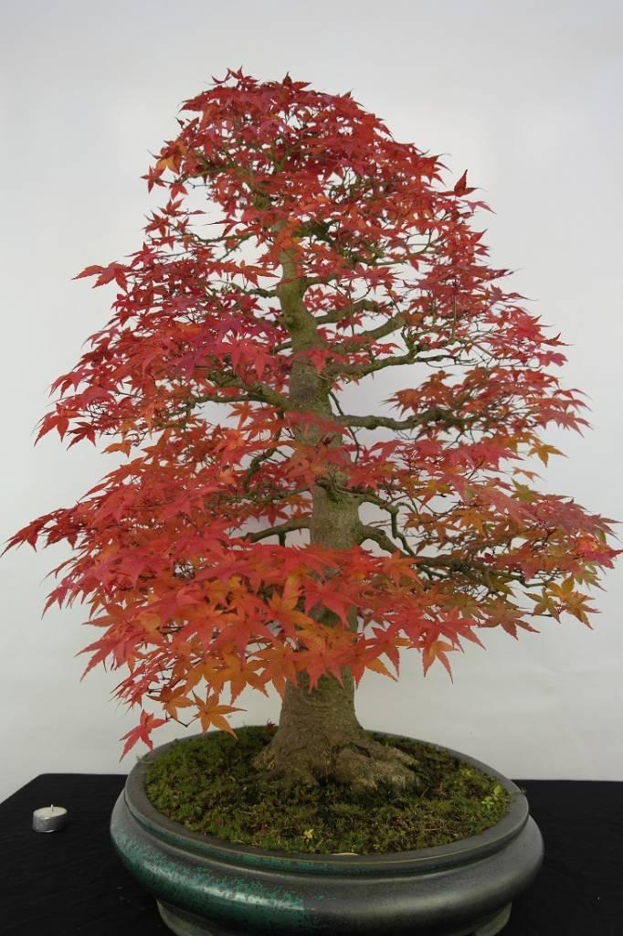Bonsai l 39 erable du japon deshojo acer palmatum deshojo no 5231 - L erable du japon ...