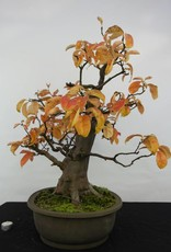 Bonsai Cognassier, Cydonia oblonga, no. 5573