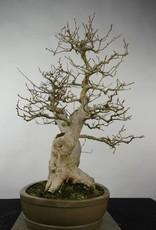 Bonsai Charme de corée, Carpinus coreana, no. 5137