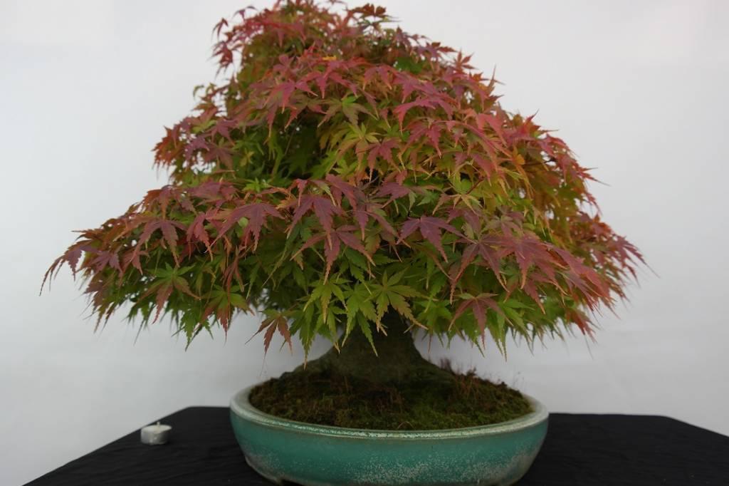 Bonsai L'Erable du Japon, Acer palmatum, no. 5521