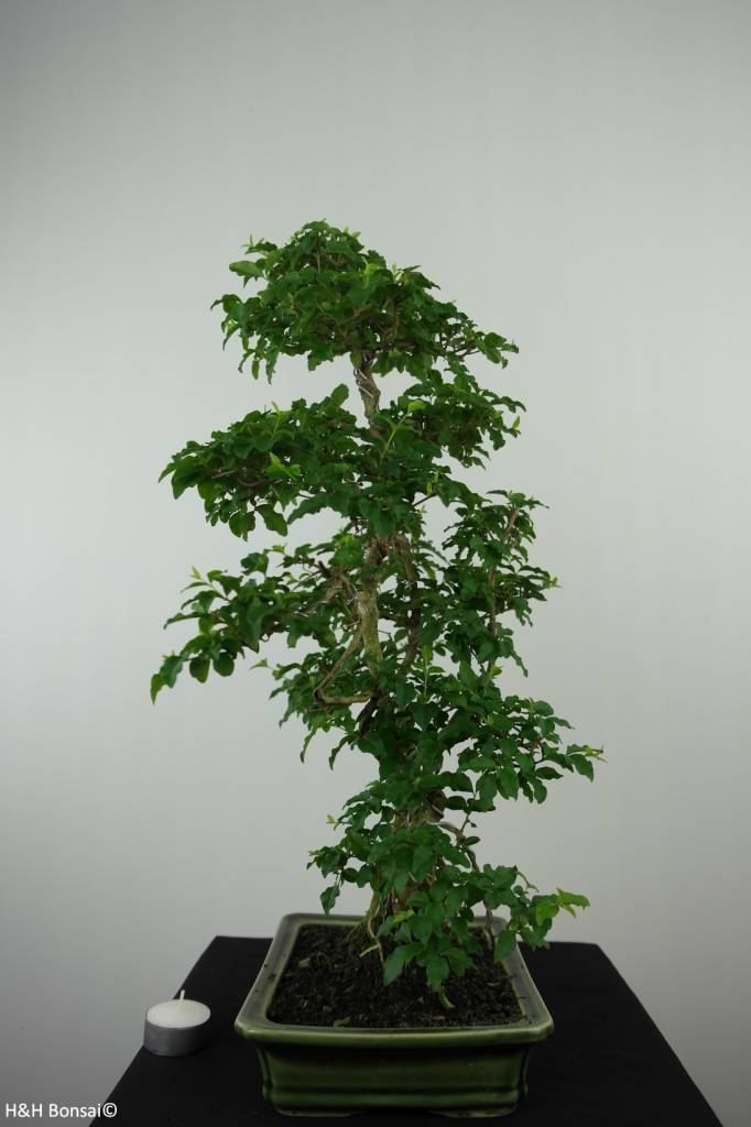 Bonsai Troène,Ligustrum sinense, no. 6495