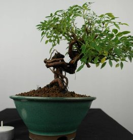 Bonsai Rosa sp., no. 6525