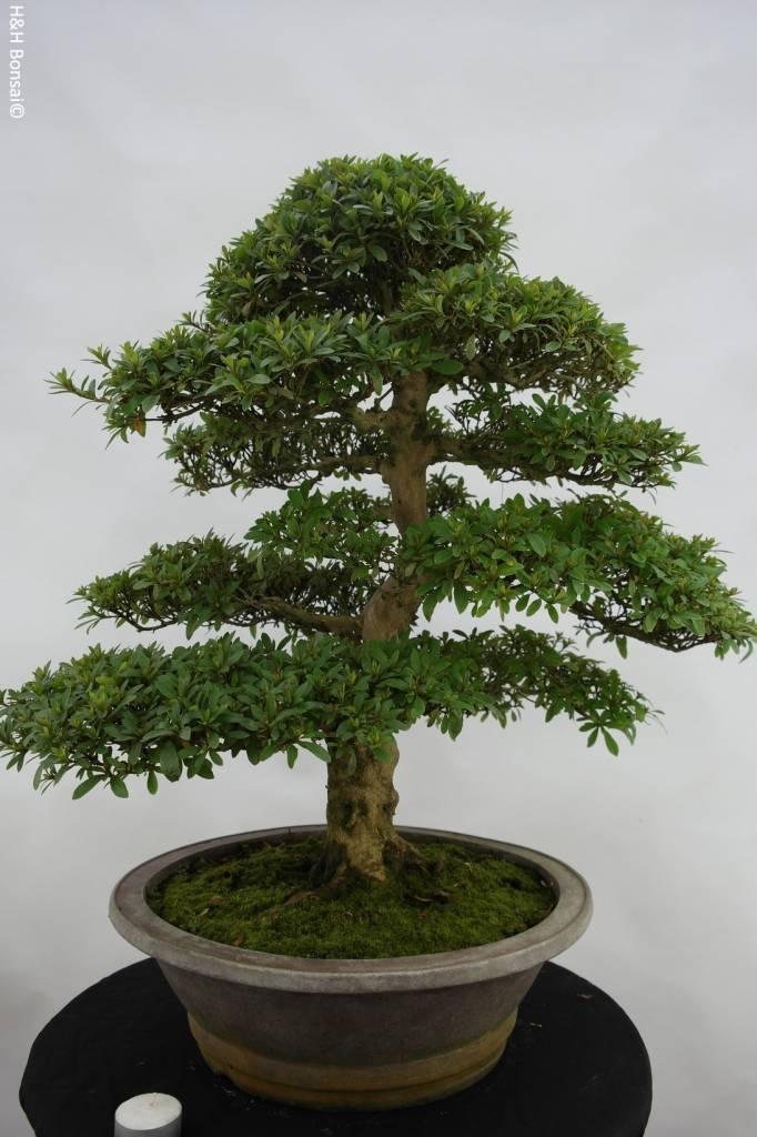 Bonsai Azalée du Japon, Azalea SatsukiSaiko, no. 5695