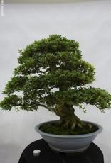 Bonsai Azalée du Japon, Azalea SatsukiJuko, no. 5707