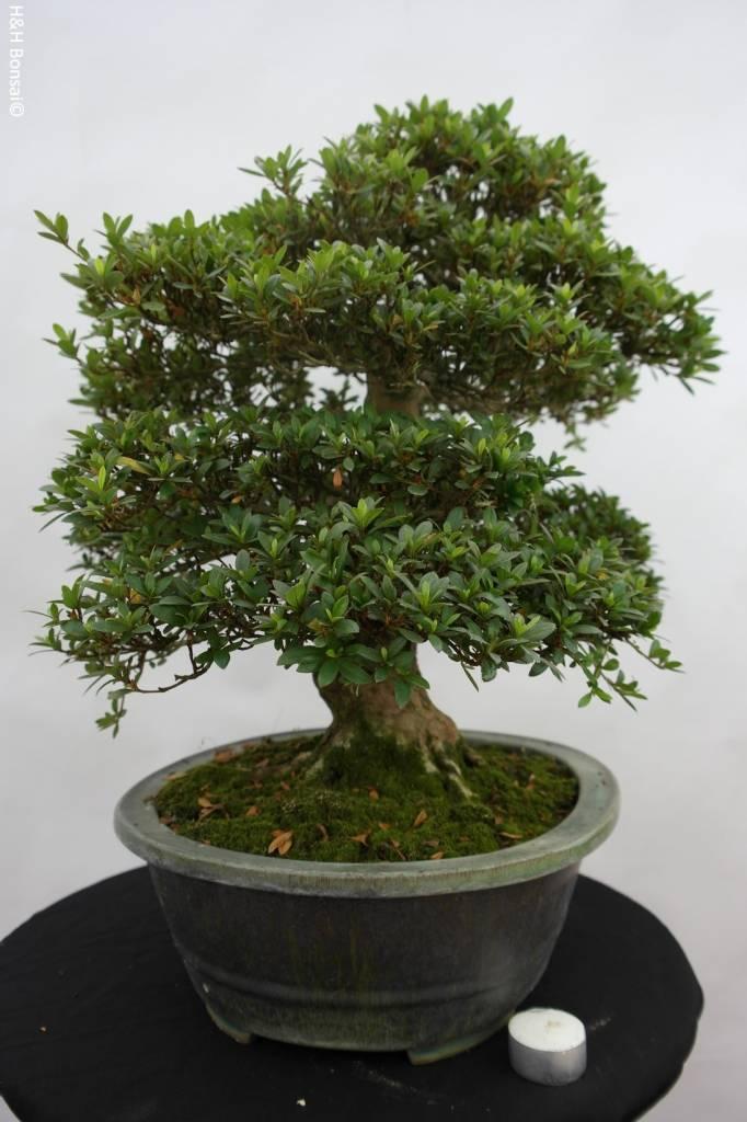 Bonsai Azalée du Japon, Azalea SatsukiJuko no Homare, no. 5706