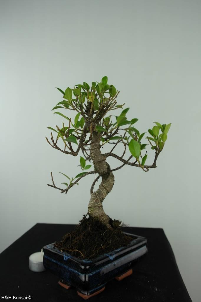 Bonsai Figuier tropical, Ficus retusa, no. 6538