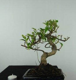Bonsai Figuier tropical, Ficus retusa, no. 6541