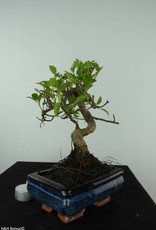 Bonsai Figuier tropical, Ficus retusa, no. 6541