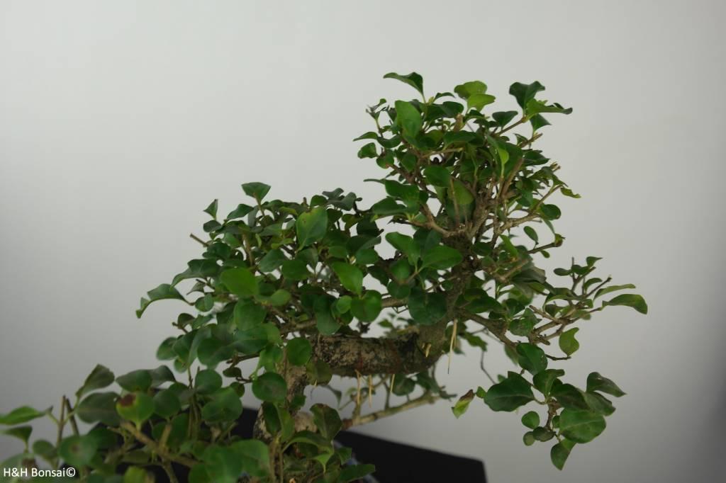 Bonsai Troène,Ligustrum nitida, no. 6550