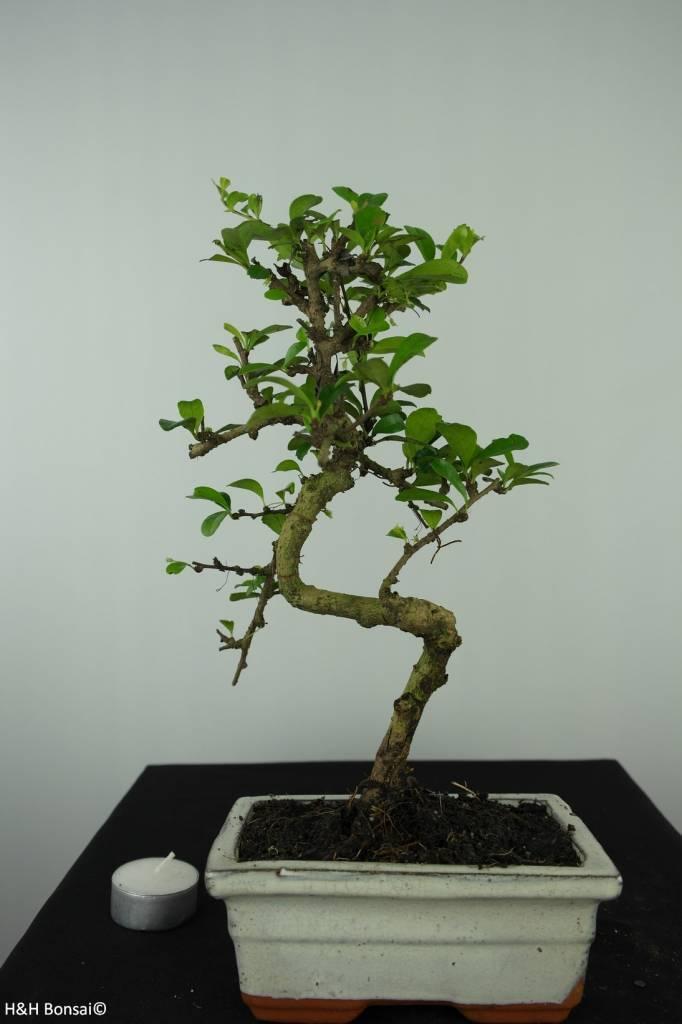 Bonsai Arbre à thé, Carmona macrophylla, no. 6559