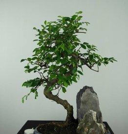 Bonsai Ulmus, Chinese Iep, nr. 6567