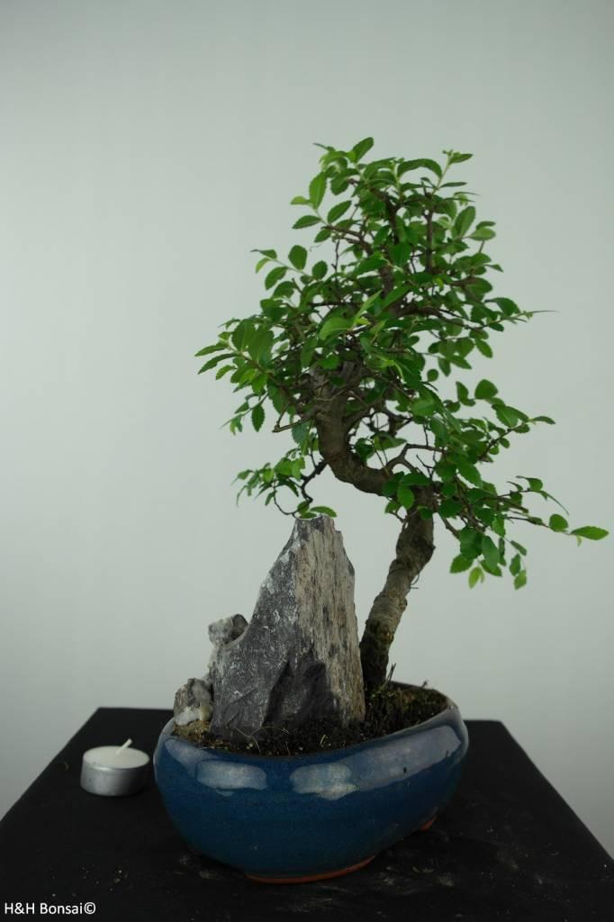 Bonsai Orme de Chine, Ulmus, no. 6567
