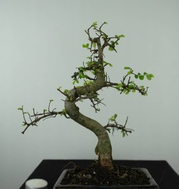 Bonsai Orme de Chine, Ulmus, no. 6581