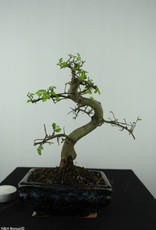 Bonsai Orme de Chine, Ulmus, no. 6581