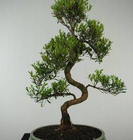 Bonsai Syzygium sp., no. 6608