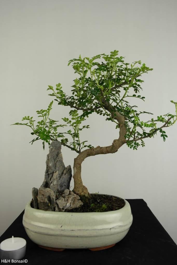 Bonsai Faux poivrier, Zanthoxylum piperitum, no. 6665