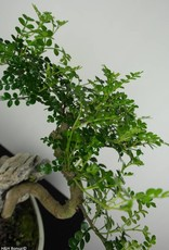 Bonsai Faux poivrier, Zanthoxylum piperitum, no. 6666