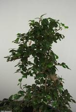 Bonsai Orme de chine, Ulmus, no. 6689