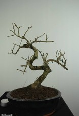 Bonsai Frêne, Fraxinus sp., no. 6701