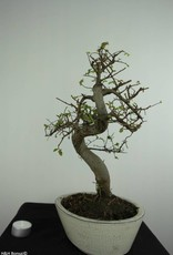 Bonsai Orme de chine, Ulmus, no. 6708