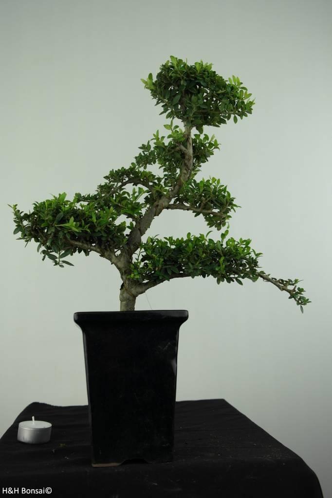 Bonsai Houx japonais, Ilexcrenata, no. 6717