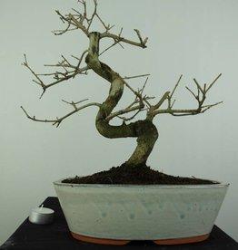 Bonsai Frêne, Fraxinus sp., no. 6729