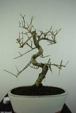 Bonsai Frêne, Fraxinus sp., no. 6731