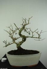 Bonsai Frêne, Fraxinus sp., no. 6732