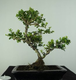 Bonsai Ilex crenata, Japanse hulst, nr. 6747