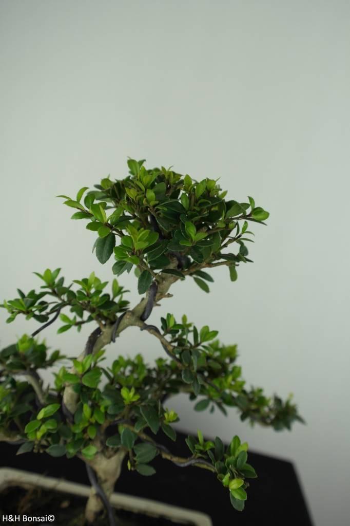 Bonsai Houx japonais, Ilex crenata, no. 6751