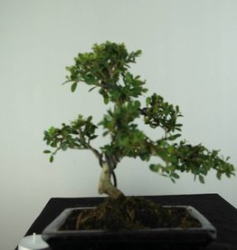 Bonsai Ilex crenata, Japanse hulst, nr. 6753