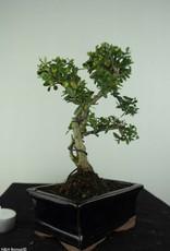 Bonsai Houx japonais, Ilex crenata, no. 6756