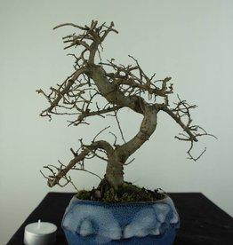 Bonsai Ulmus, Chinese Iep, nr. 6758