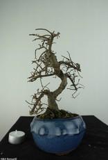 Bonsai Orme de Chine, Ulmus, no. 6758