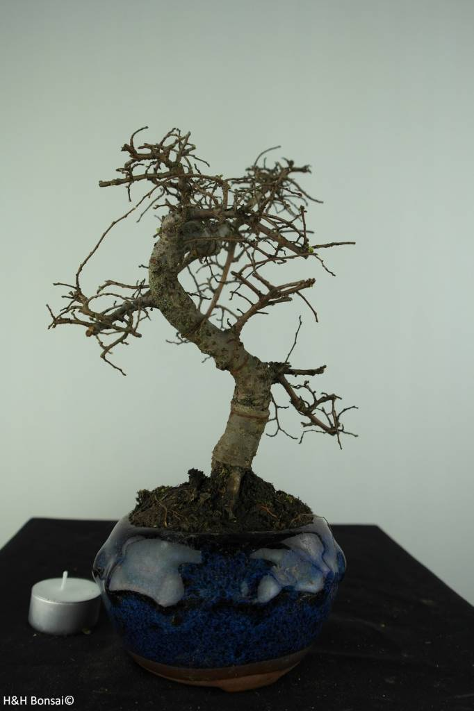 Bonsai Orme de Chine, Ulmus, no. 6773