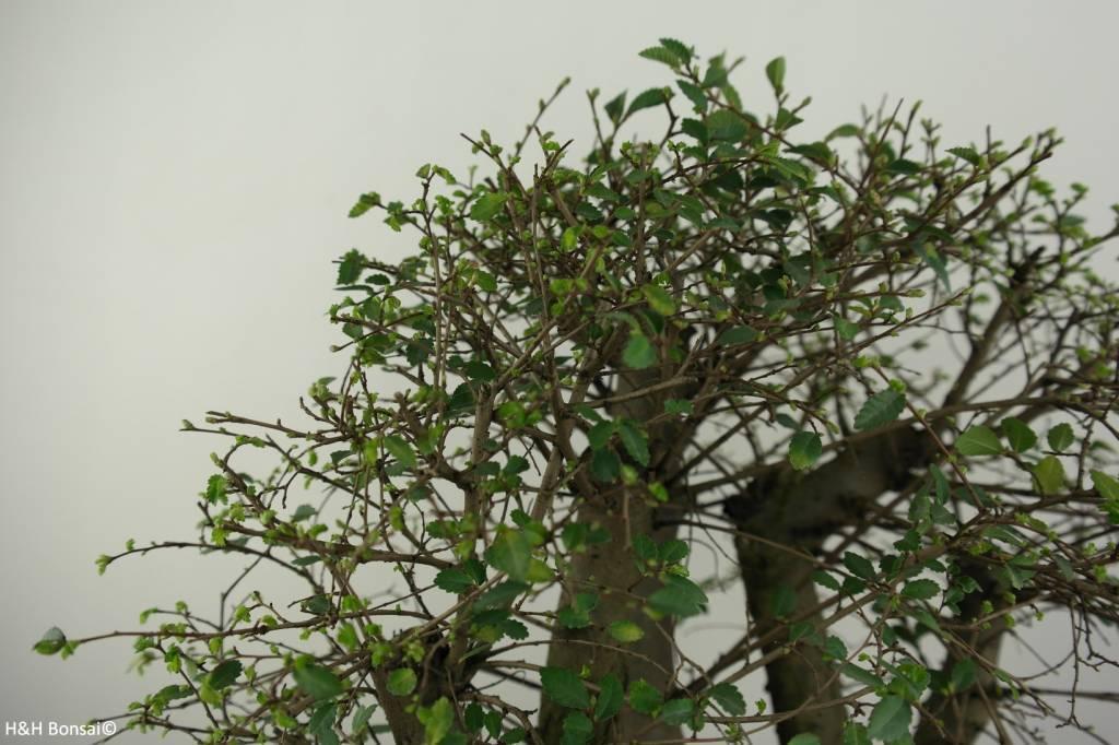 Bonsai Orme de chine, Ulmus, no. 6825